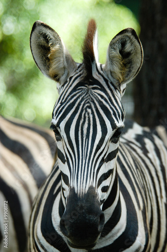 In de dag Zebra wild animal