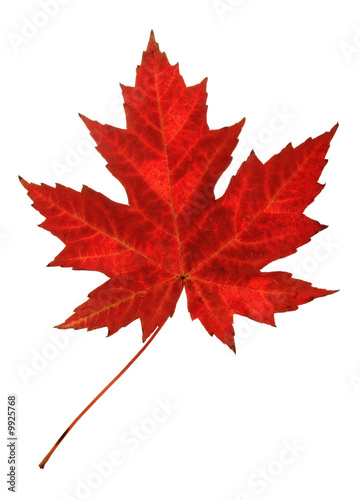 Foto op Canvas Canada Red maple leaf in autumn, isolated on white.