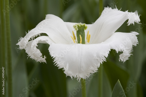 weisse Tulpe - 9956947