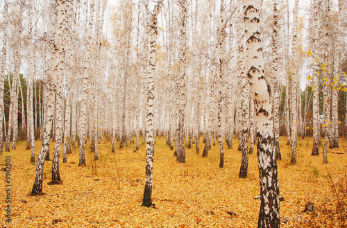 Photo Stands Birch Grove an autumn birchwood in October