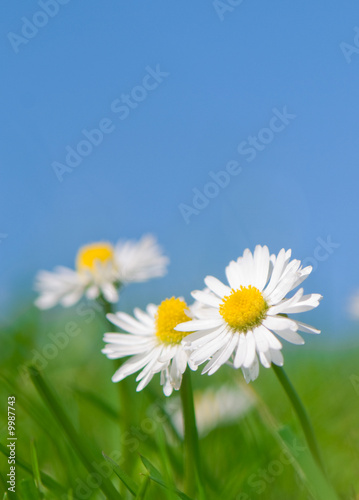 In de dag Madeliefjes daisy flowers green grass and blue sky spring scene