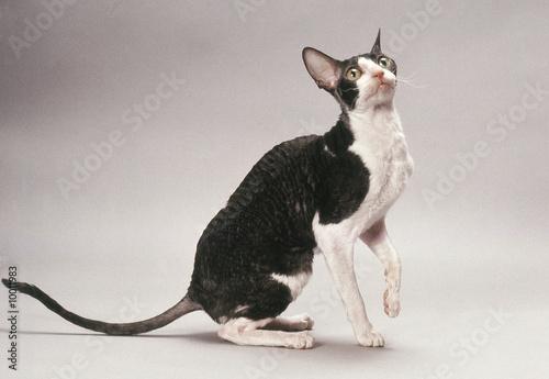 Leinwand Poster chat rex cornish noir et blanc prêt à bondir