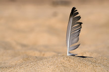 Seagull Feather Stuck In Beach Sand. Blurred Background