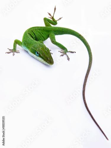 Lizard on white Poster