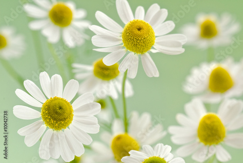 Doppelrollo mit Motiv - camomile flowers on a delicate green background (von itestro)