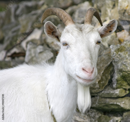 Poster Heuvel Beautiful Goat portrait with white long beard
