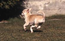 Course Rigolote Du Chihuahua De Dos Pattes En L'air