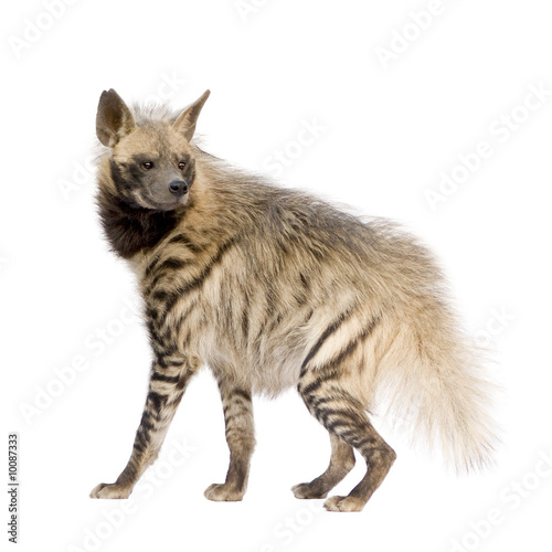 Striped Hyena in front of a white background