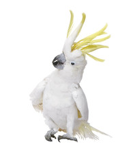Sulphur-crested Cockatoo In Fr...