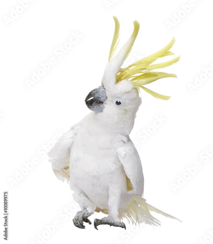 Sulphur-crested Cockatoo in front of a white background Wallpaper Mural
