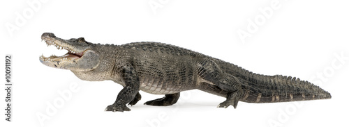 Crédence de cuisine en verre imprimé Crocodile American Alligator in front of a white background