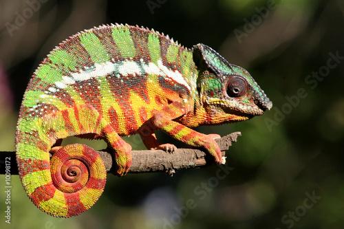 Foto op Aluminium Kameleon Chamäleon 01.2