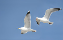 Two Seagulls In The Bluw Sky