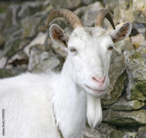 Poster Heuvel Goat - outdoor shot