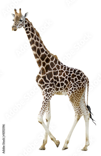 Photo  Détourage d'une girafe