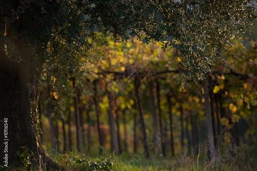 Spoed Foto op Canvas Wijngaard albero