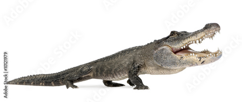 funny  American Alligator in front of a white background