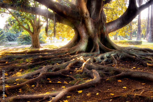 Fotografia  Centenarian tree with large trunk and big roots above the ground
