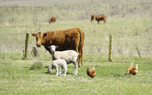 Great Image Of Sheep Chickens And Cows On The Farm