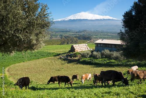 Vászonkép  rural landscape with livestock and snowy volcano etna