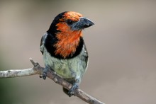 Black Collared Barbet Bird Perched On A Branch