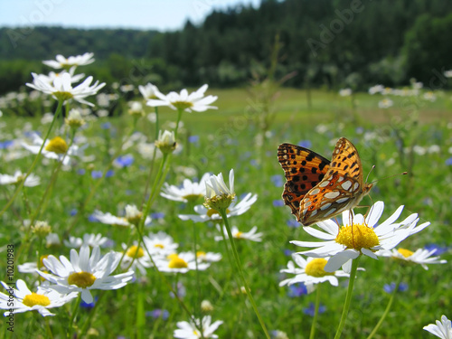 Butterfly Queen of Spain Fritillary - spring landscape