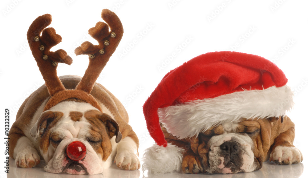 Fototapety, obrazy: english bulldogs dressed up as santa and rudolph