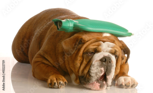 Valokuva  english bulldog with  hot water bottle - suffer a migraine