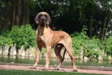 Dogue Allemand Top Model