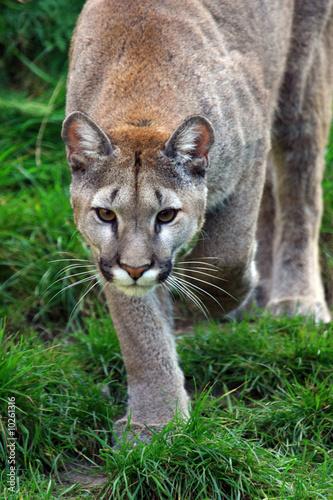 Papiers peints Puma puma