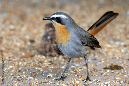 Staande foto Vogel Cape Robin bird on the ground looking for seeds