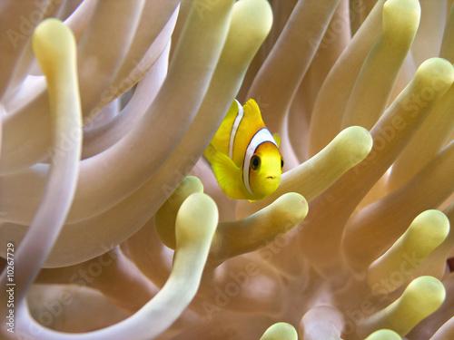 Fotografia, Obraz Very small anemone fish 1cm