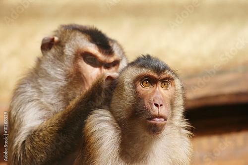 In de dag Two monkeys grooming each other