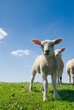 canvas print picture - curious lambs looking at the camera in spring