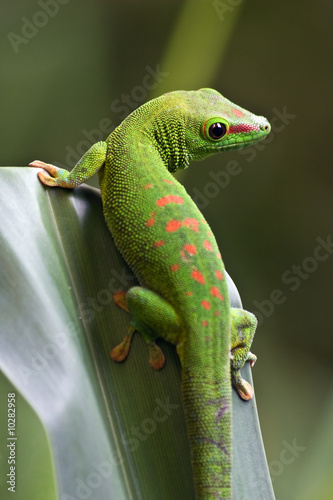 Green gecko on the leaf #10282958