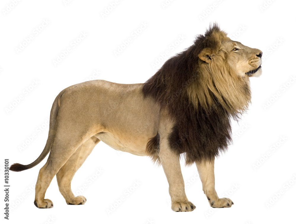 Fototapeta lion in front of a white background
