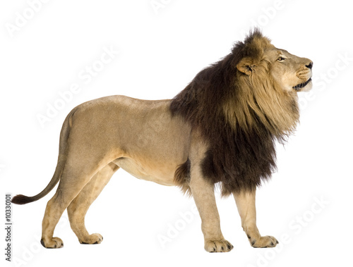 Recess Fitting Lion lion in front of a white background