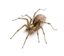 Barn Funnel Weaver Spider In F...