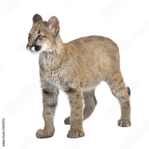 Poster Puma Puma cub in front of a white background