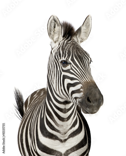Poster Zebra Front view of a Zebra in front of a white background