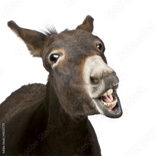Cadres-photo bureau Ane donkey (4 years) in front of a white background
