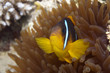 Clown fish protects his anemone