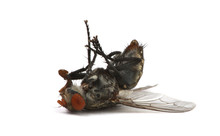 Dead Fly Isolated On A White B...