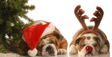 Bulldog Santa And Bulldog Rudo...