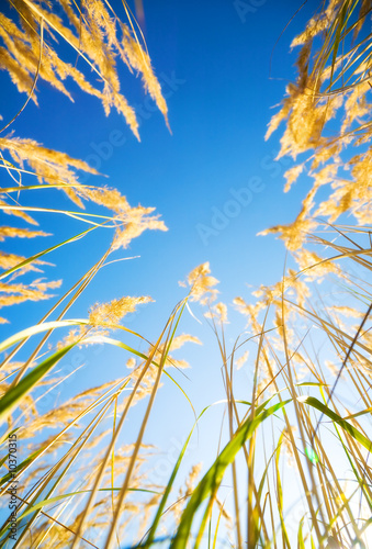 High grass on blue sky background. View from the ground.