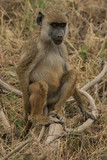 A Monkey sitting on a log in the grass