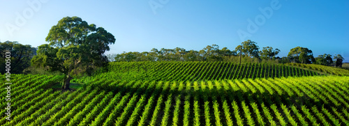 Photo sur Aluminium Vignoble Beautiful Vineyard Panorama with large gum tree