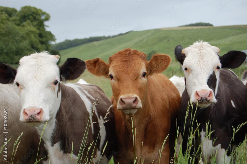 Fototapeta Cows