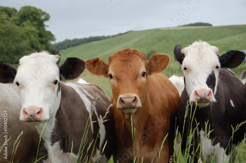 Tablou Canvas Cows
