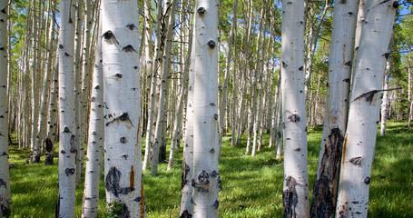 Panel Szklany Podświetlane Drzewa Birkenwaldpanorama